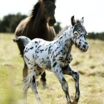 Spotty the Dalmatian Foal – Dotted Dartmoor pony spotted in Devon